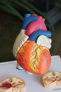 Moderne anatomiske modeller til undervisning og demonstration