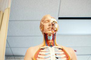 Anatomiske modeller er perfekte at bruge i undervisningen